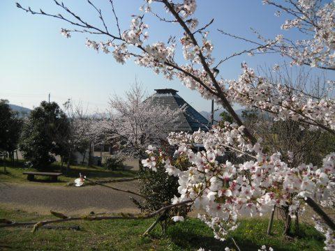 0508四季菜館桜