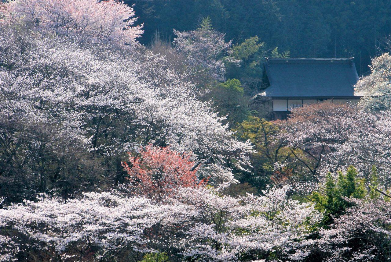 常勝寺 ( 桜 )