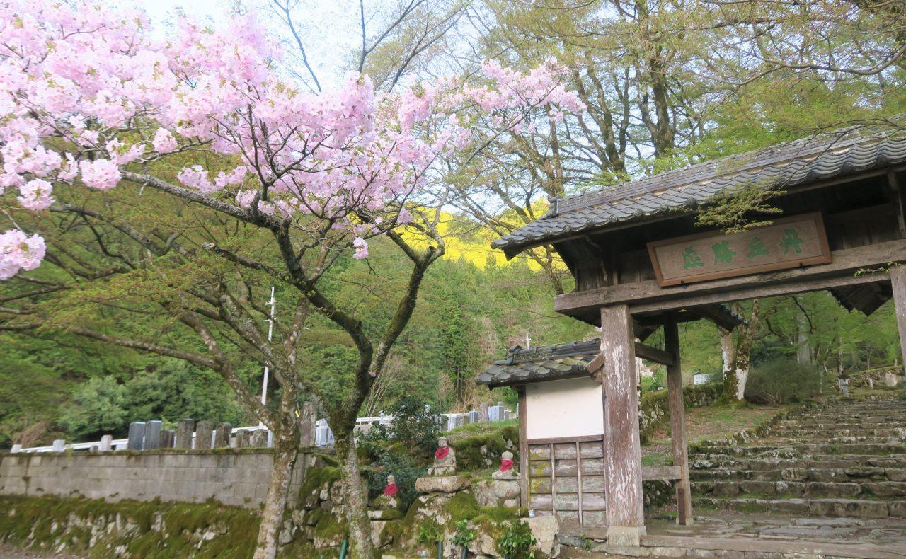 高源寺の桜